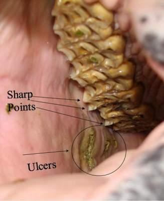 Equine Dentistry Dental Care Ulcers & Sharp Points