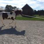 Equine Lameness Evaluation