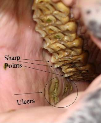 Equine Dentistry Dental Care Ulcers & Sharp Points