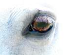 The Top 7 Things to Know about Equine Recurrent Uveitis