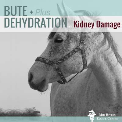 Horse Bute Kidney Damage