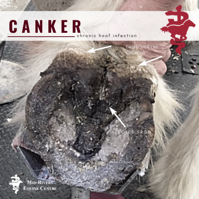 what is canker in horses