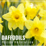 Daffodils horse poison